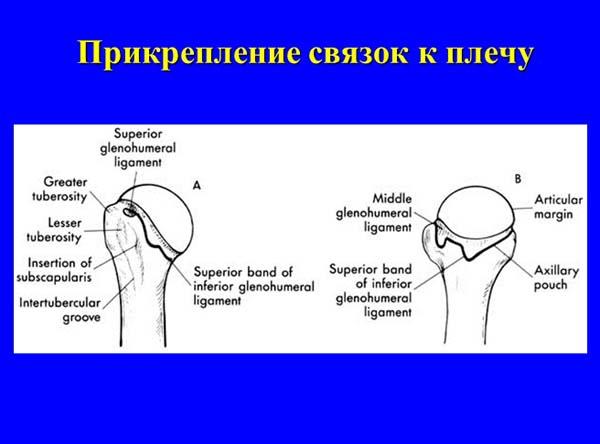суставно плечевая связка