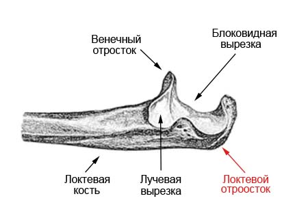 Венечный отросток локтевой сустав перелом дона-лекарство от суставов прием и дозировка